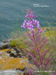 Fireweed, Narrow-leaf fireweed, Willow Herb, Rosebay Willow Herb, Blooming Sally