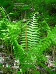 Cinnamon Fern 