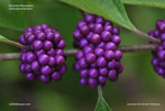 American Beautyberry, French Mulberry