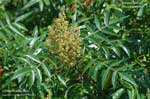 Winged Sumac, Shining Sumac, Flameleaf Sumac, Dwarf Sumac, Eastern Winged Sumac