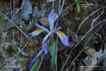 Dwarf Violet Iris, Vernal Iris, Spring Iris