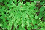 Northern Maidenhair, Five-Fingered Maidenhair Fern