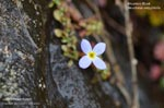 Creeping Bluet, Mountain Bluet, Thymeleaf Bluet, Appalachian Bluet, Michaux�s Bluets