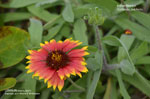 Indian Blanket, Indian Blanketflower, Firewheel