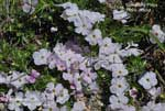 Spreading Phlox