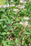 White Bergamot, Basil Bee Balm