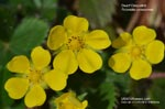 Dwarf Cinquefoil 