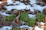 Southern Ground Cedar, Fan Clubmoss, Running Pine, Running Ground Cedar
