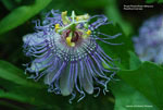 Purple Passionflower, Maypop