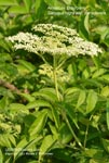 Common Elderberry, American Elderberry, American Black Elderberry