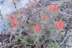 Rocky Mountain Indian Paintbrush, Coville Indian Paintbrush