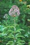 Hollow Joe Pye Weed, Trumpetweed, Tubular Thoroughwort, Hollow-stemmed Joe-pye-weed
