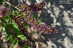 Indigobush, False Indigo Bush, Desert False Indigo, Tall Indigo-bush